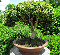 Bonsai tree and landscape services in Youngstown, OH